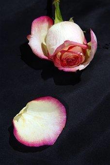 rose-1999483__340